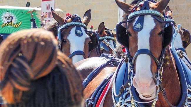 Budweiser Clydesdales Horses Grand Opening Day Walmart Neighborhood Market, Riverview, FL/2015 photonews247.com