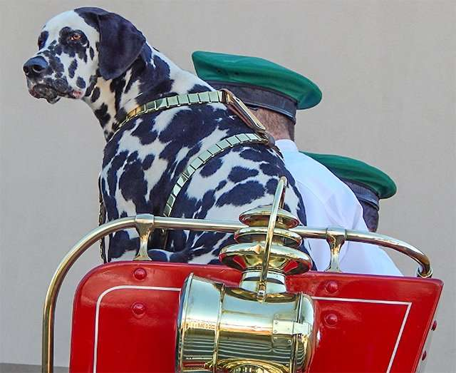 Budweiser Dalmatian on beer wagon at Grand Opening of Walmart Neighborhood Market, Riverview, FL/2015 photonews247.com