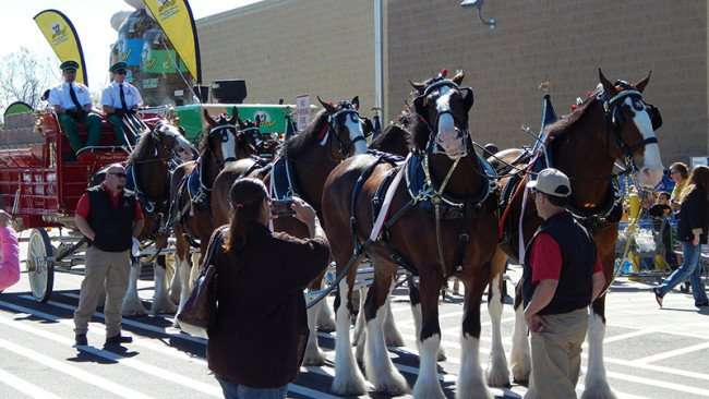 Eight Budweiser Clydesdales Horses at Grand Opening Day Walmart Neighborhood Market, Riverview, FL/photonews247.com