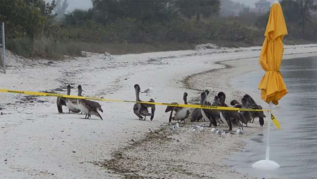 Pelicans will not cross yellow caution tape on at Sunset Grille while SERVPRO works on building/2015 photonews247.com