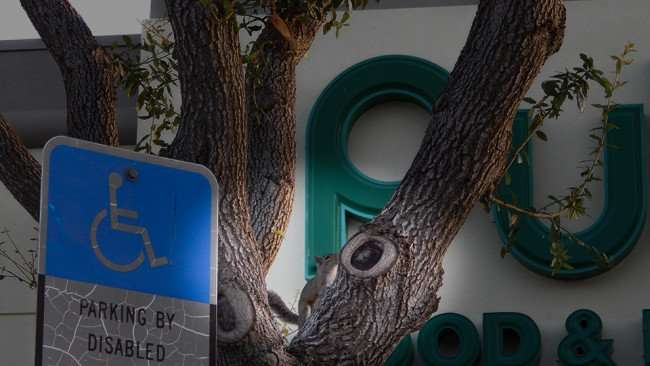 MAY 11, 2015: squirel in tree in front of Publix sign in Kings Crossing, Sun City Center FL / Photo News 247