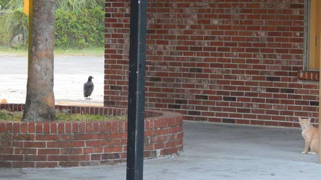 MAY 12, 2015: A cat watching birds at Twin Oaks Plaza on Us Hwy 41, Gibsonton South Shore, Florida / Photo News 247