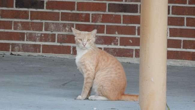 MAY 12, 2015: Cat looking at camera at Twin Oaks Plaza on Us Hwy 41, Gibsonton South Shore, Florida / Photo News 247