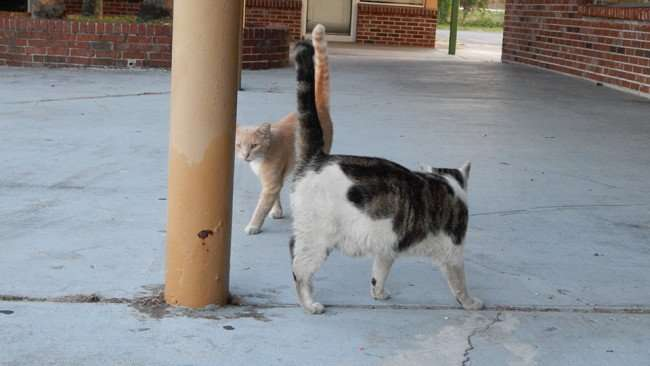 MAY 12, 2015: Cats socializing at Twin Oaks Plaza on Us Hwy 41, Gibsonton South Shore, Florida / Photo News 247