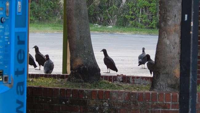 MAY 12, 2015: Vultures at strip-mall Us Hwy 41, Gibsonton South Shore, Florida / photo news 247