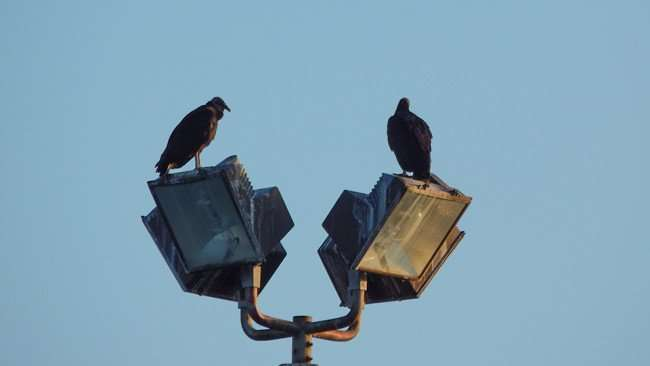 MAY 12, 2015 - Two vultures on light in parking lot at Twin Oaks Plaza on Us Hwy 41, Gibsonton South Shore, Florida