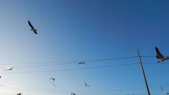 MAY 13, 2015 - Flock of Seagulls fly towards the morning sun in Apollo Beach Shopping Center on US 41
