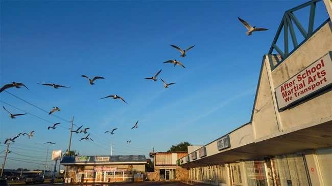 MAY 13, 2015 - Seagulls flying over Apollo Beach Shopping Center FL