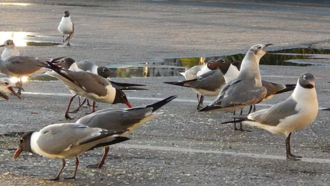 MAY 13, 2015 - Seagulls feeding in parking lot at Apollo Beach Shopping Center on US 41