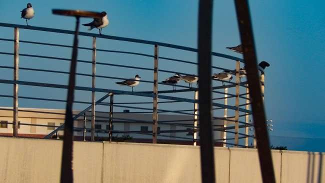 JULY 26, 2015 - seagulls perched on amphitheater in Kiley Park Nations Bank Park, Tampa, FL/photonews247.com
