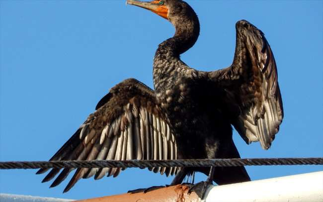 AUG 9, 2015 - Double-crested cormorant with wings spread in the sun on the Gasparilla pirate ship, Tampa, FL/photonews247.com