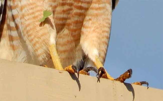 NOV 7, 2015 - Closeup of Red Shoulder Hawks talons and yellow legs/photonews247.com
