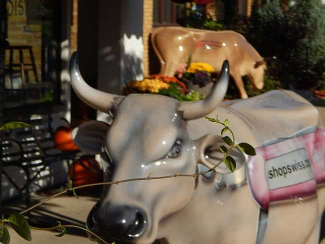 OCT 10, 2015 - Cow statue with ShopSwiss.com written on it in front of Esther's European Imports, an authentic Swiss Store in New Glarus, WI/photonews247.com