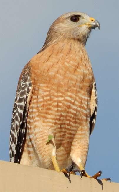 NOV 7, 2015 - Red Shoulder Hawk yellow legs and beak in Brandon, Florida/photonews247.com
