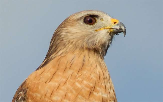 NOV 7, 2015 - Red Shouldered Hawk in Brandon, Florida/photonews247.com