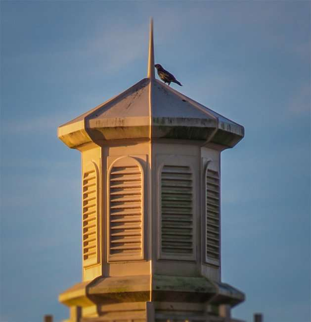 Jan 16, 2016 - Bird on steeple at Publix in Winthrop Town Centre, Riverview, FL.photonews247.com