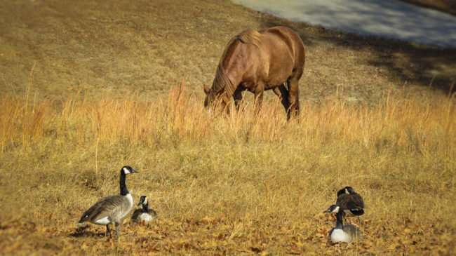 11.25.2016 - Whitestone Country Inn: ducks, horses on site in Kingston, TN/photonews247.com