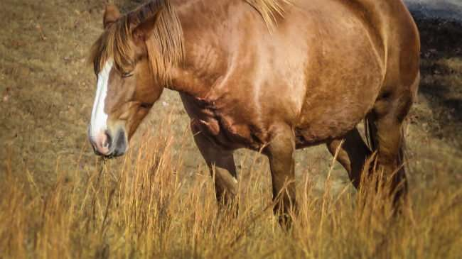 11.25.2016 - Whitestone Country Inn: horse eating grass on the 360 acre property in Kingston, TN/photonews247.com