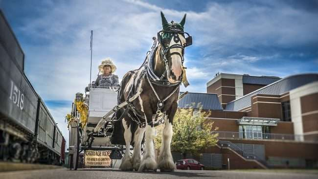 Aug 25, 2017 - Char Diesel with Victorian style clothing and carriage pulled by horse General Patton, Downtown, Paducah, KY/photonews247.com