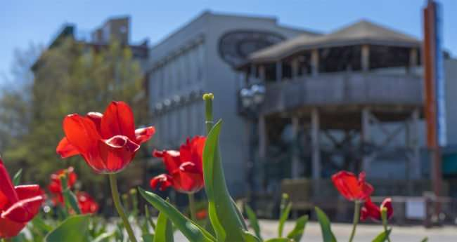 April 8, 2017 - Roses with former Whalers Catch restaurant in background, Paducah, KY/photonews247.com