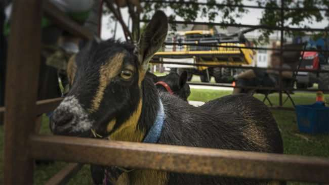 June 17, 2017 - Goat waiting for someone to pet him at Farm Frenzy 2017, Metropolis, IL/photonews247.com