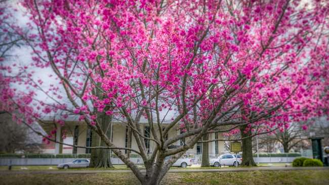 3.16.2018 - Cherry Tree blossoms in Dolly McNutt Plaza across from Paducah City Hall/photonews247.com
