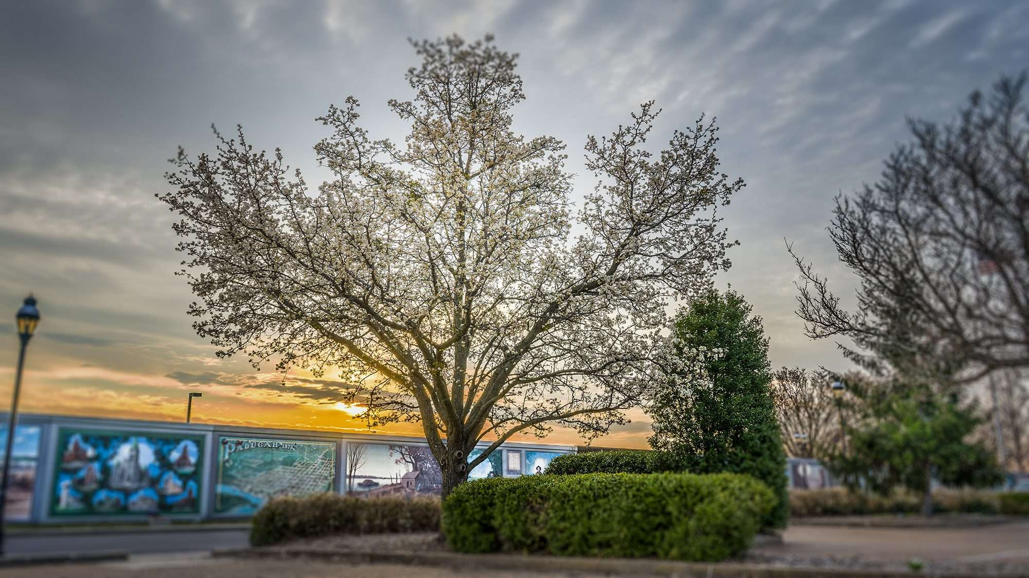 3.16.2018 - Dogwood Tree in bloom at Gazebo parking lot in downtown Paducah, KY small/photonews247.com