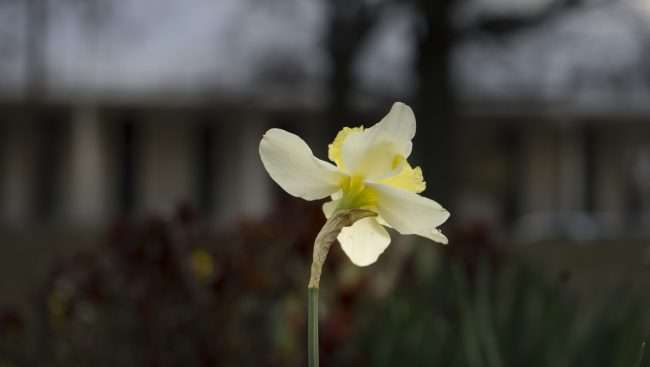 3.16.2018 - Flower in Dolly McNutt Plaza with Paducah City Hall in background/photonews247.com