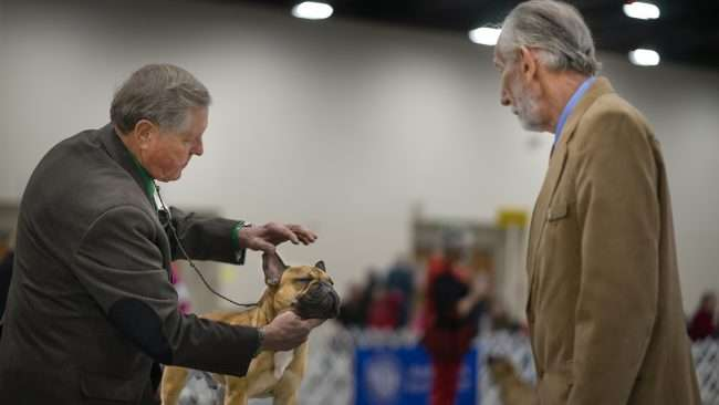 April 8, 2018 - Bulldog on competition table getting judged during Kennel Club Quilt Classic Dog Show Paducah/photonews247.com