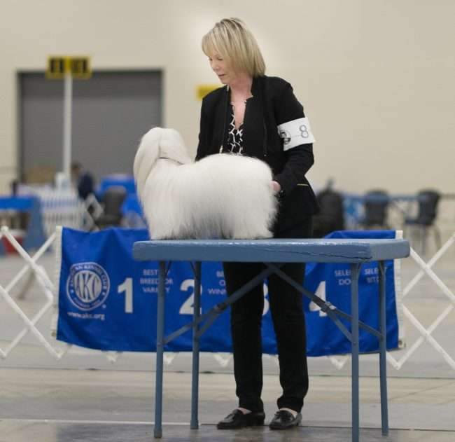 April 8, 2018 - Coton de Tulear, Sophia winner of Owner Handled Non-Sporting group, Quilt Classic Dog Show Paducah/photonews247.com