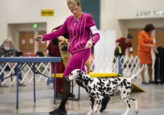 April 8, 2018 - Owner walking Dalmation during competition at the Kennel Club Quilt Classic Dog Show inside the Paducah Convention Center/photonews247.com