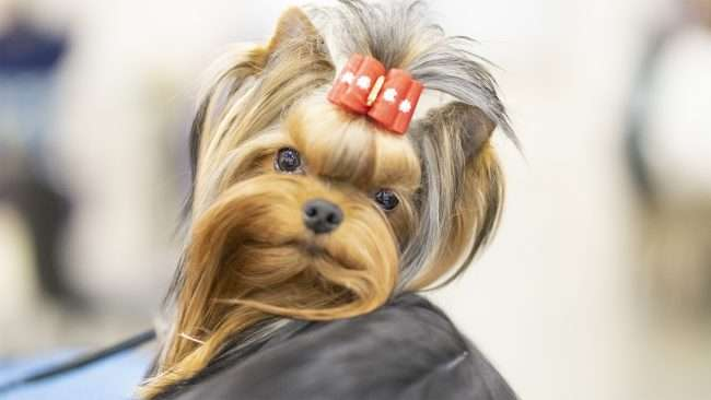 April 8, 2018 - Cute dog poses a Dog Fashion Week during Kennel Club Quilt Classic Dog Show Convention Center Paducah, KY/photonews247.com