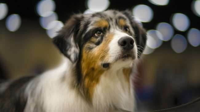 April 7, 2018 - Dog finishes competition at Kennel Club Quilt City Classic Dog Show Paducah/photonews247.com