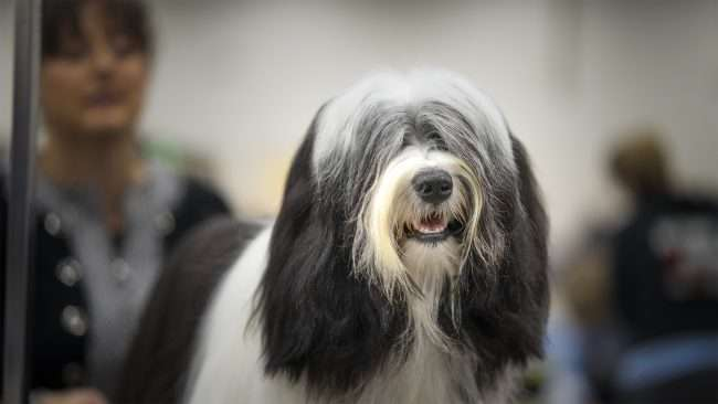 April 7, 2018 - Dog getting hair done while attending Kennel Club Quilt City Classic Dog Show Paducah Convention Center/photonews247.com