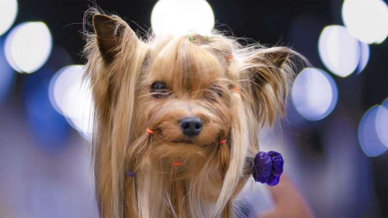 April 7, 2018 - Dog getting makeover at Kennel Club Quilt City Classic Dog Show at the Paducah Convention Center/photonews247.com