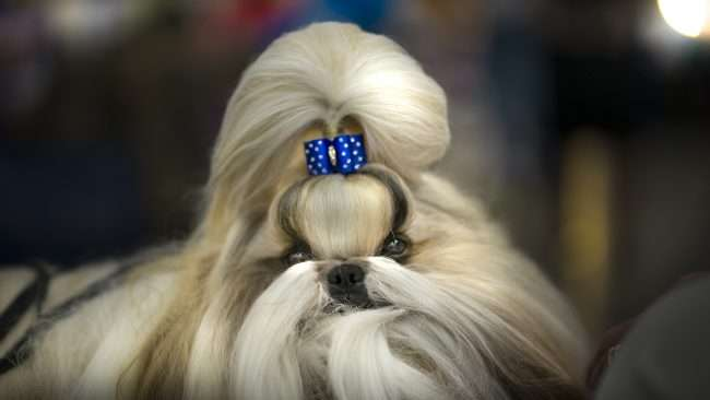 April 8, 2018 - Puppy Fashion during Kennel Club Quilt Classic Dog Show, Paducah, KY/photonews247.com
