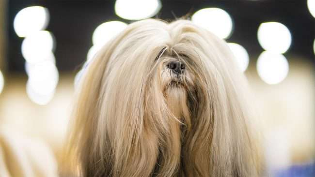 April 8, 2018 - Pet Fashion hair styling at Paducah Dog Show, Convention Center/photonews247.com