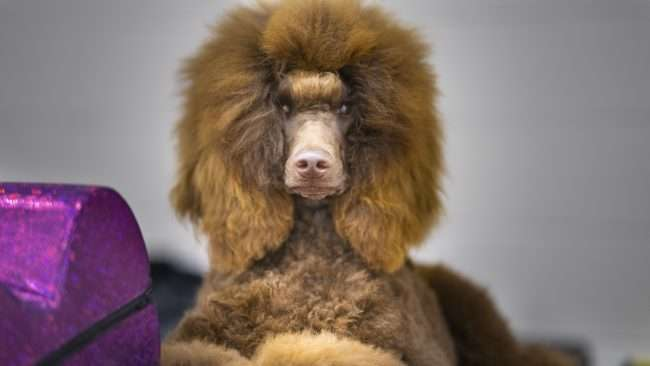 April 7, 2018 - Poodle sitting during Quilt City Dog Show at the Convention Center in Paducah, KY/photonews247.com