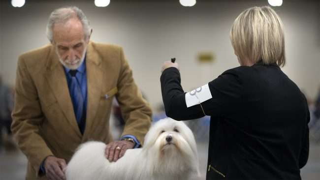 April 8, 2018- Sophia is a Coton de Tulear and winner of Owner Handled Non-Sporting group, Quilt Classic Dog Show Paducah/photonews247.com