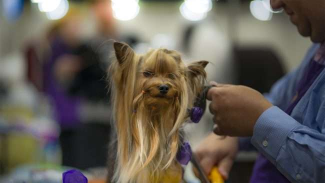 April 7, 2018 - Stylist fixing dogs hair at Kennel Club Quilt City Classic Dog Show Convention Center Paducah/photonews247.com