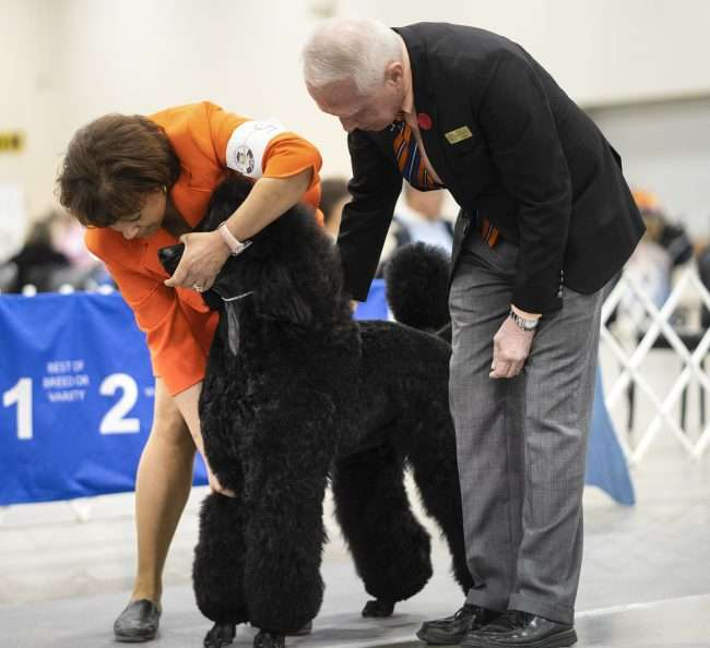April 8, 2018 - Woman with big Poodle during competition at Kennel Club Quilt Classic Dog Show Paducah/photonews247.com